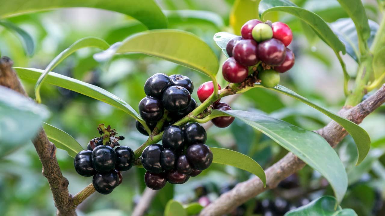 Aussergewöhnliche pflanzliche Neuheiten 2020 - schwarzrote Beeren