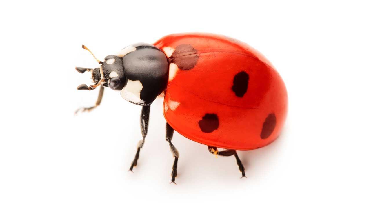 Die Überwinterung der Marienkäfer - ein Käfer
