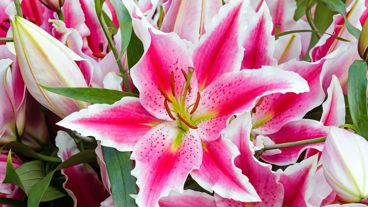 Amaryllis - Ein Farbakzent in der dunklen Winterzeit in rosa