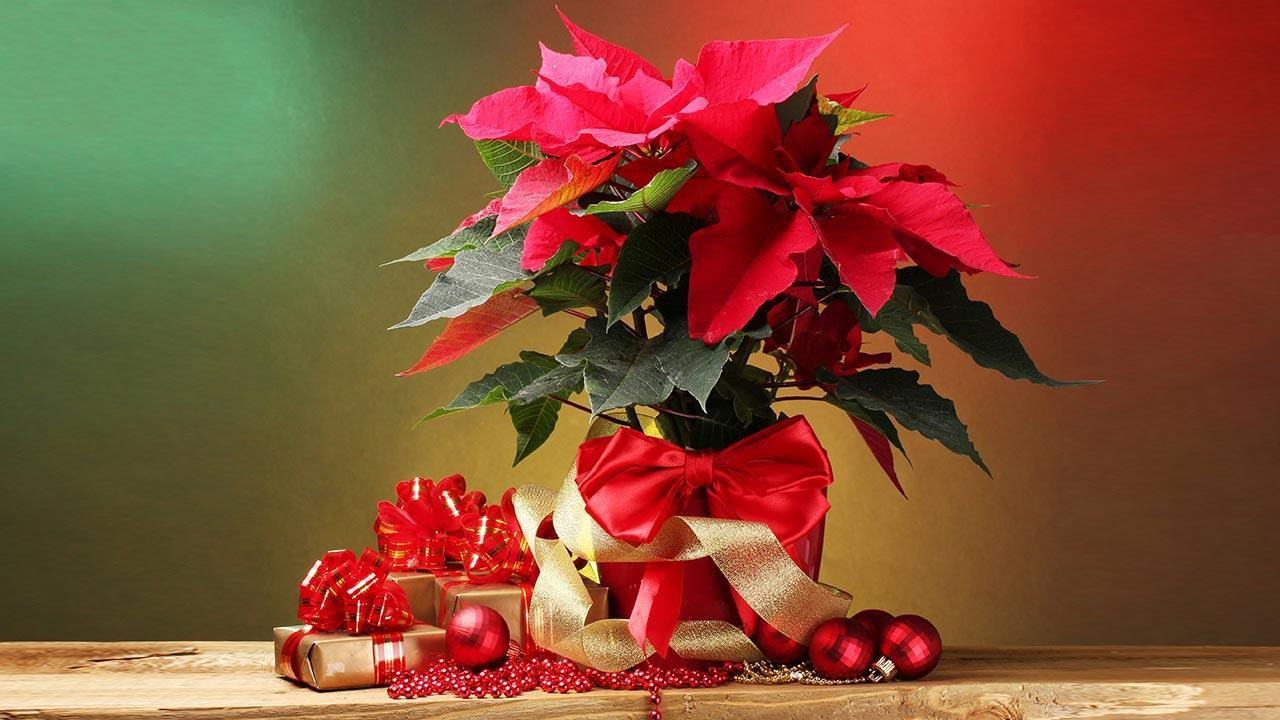 Der Weihnachtsstern - mit Geschenken
