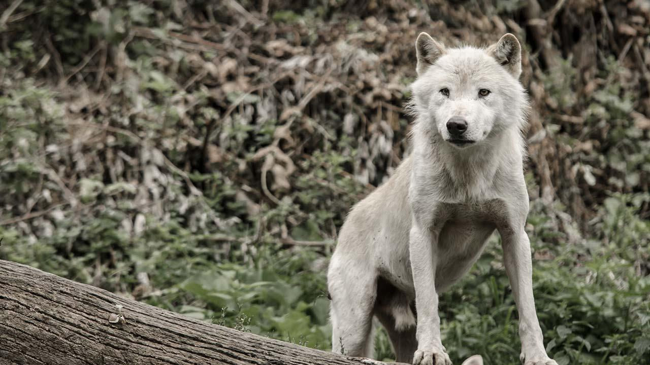 Die schönsten Tierparks in Österreich - Wolf in Salzburg