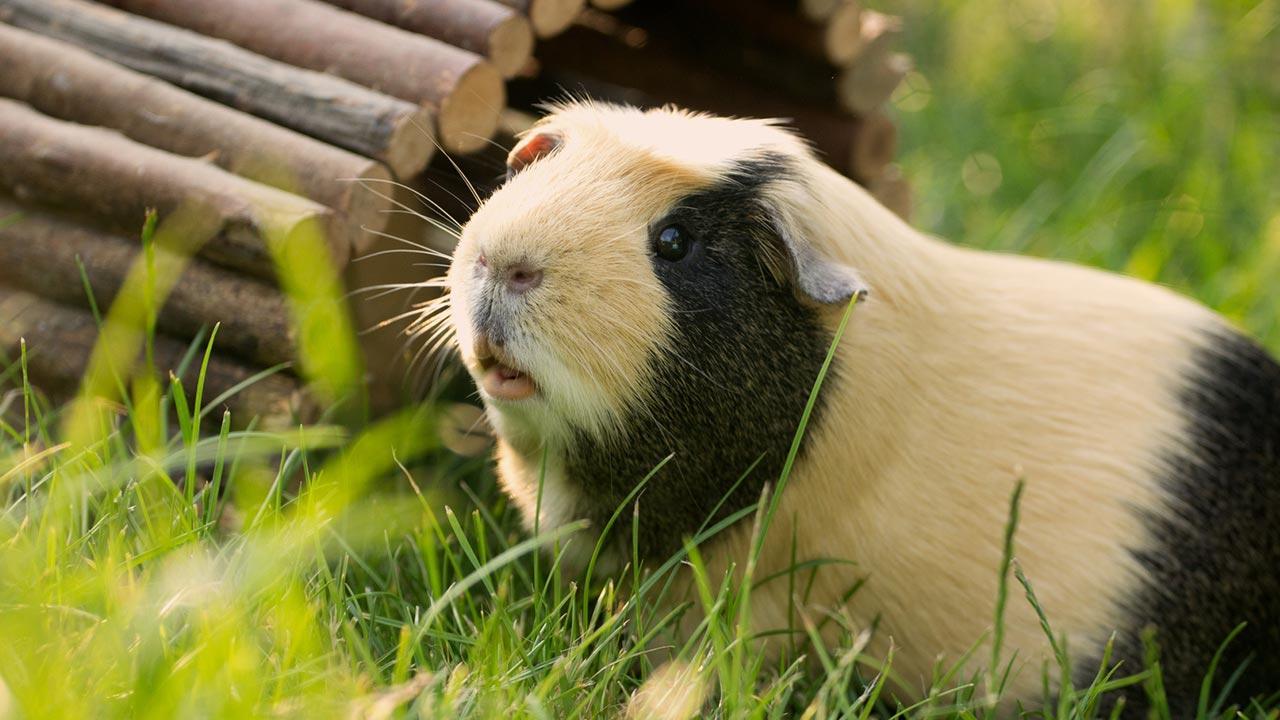 Das Meerschweinchen - ein perfektes Haustier für Kinder - mit Unterstand