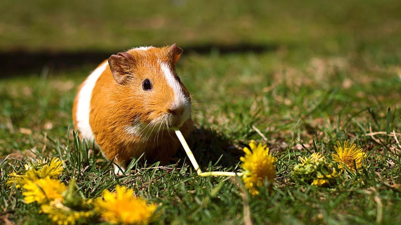 Das Meerschweinchen - ein perfektes Haustier für Kinder