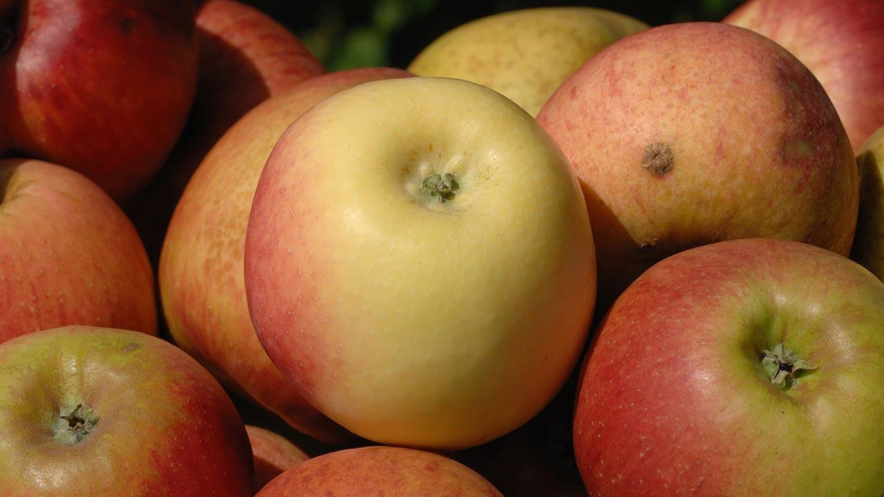 Schmackhafte Apfelbaumsorten für den eigenen Garten - Croncels
