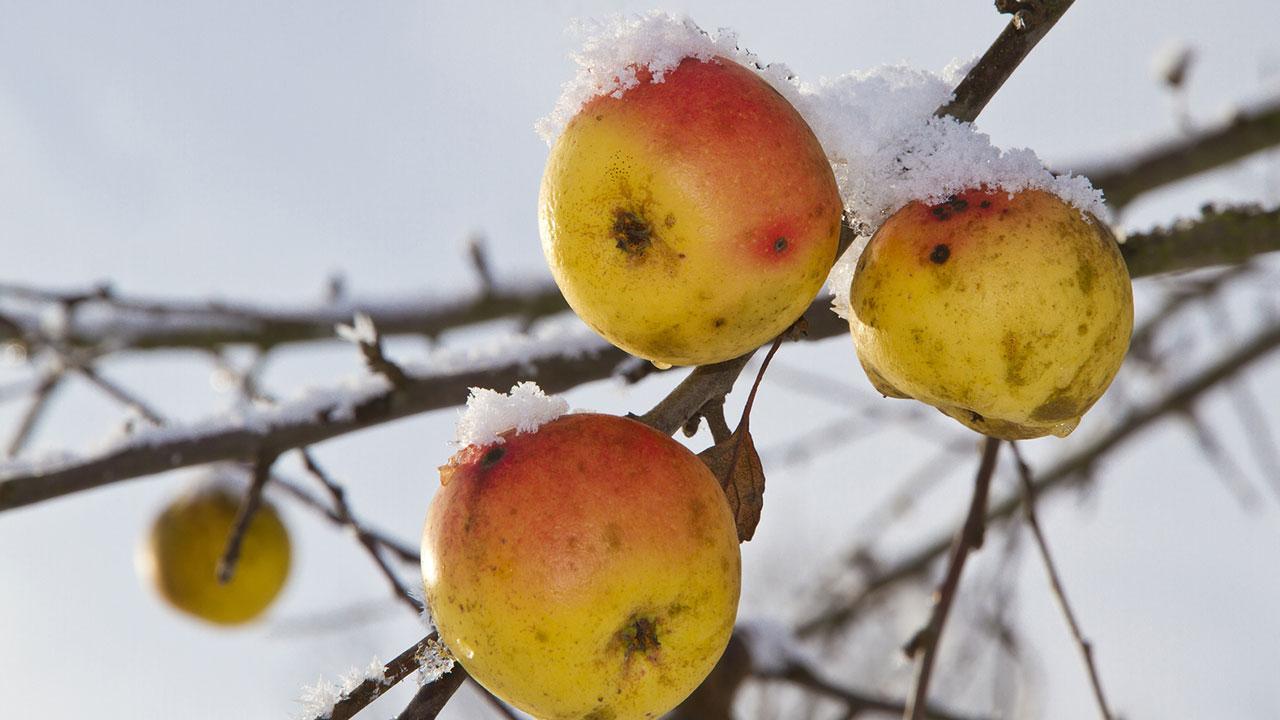 Frostschäden an Bäumen vermeiden - Äpfel mit Schnee