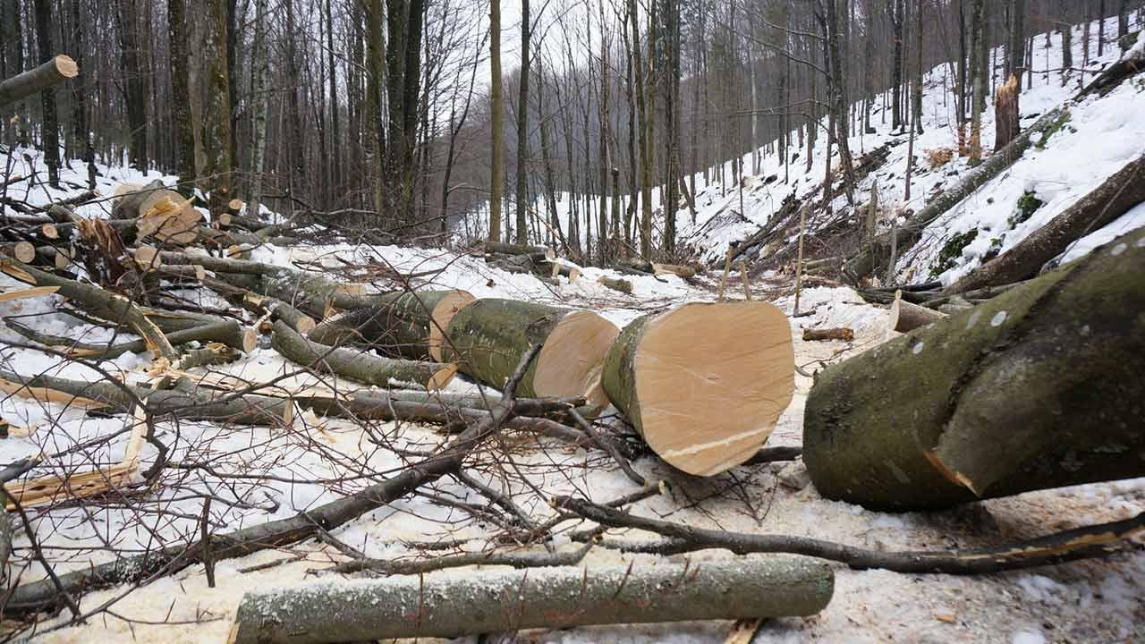 Bäume fällen - Bitte immer nur im Winter - geschnittner Baum