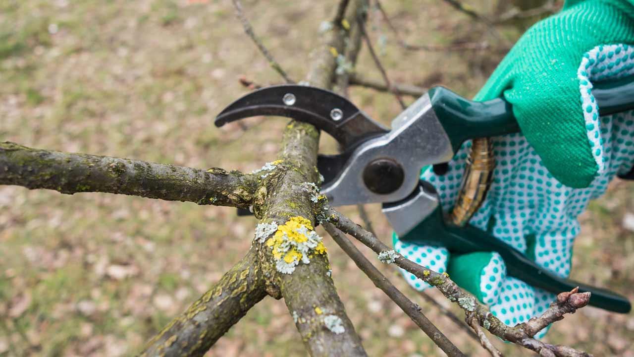 Der richtige Obstbaumschnitt - Baumbeschitt