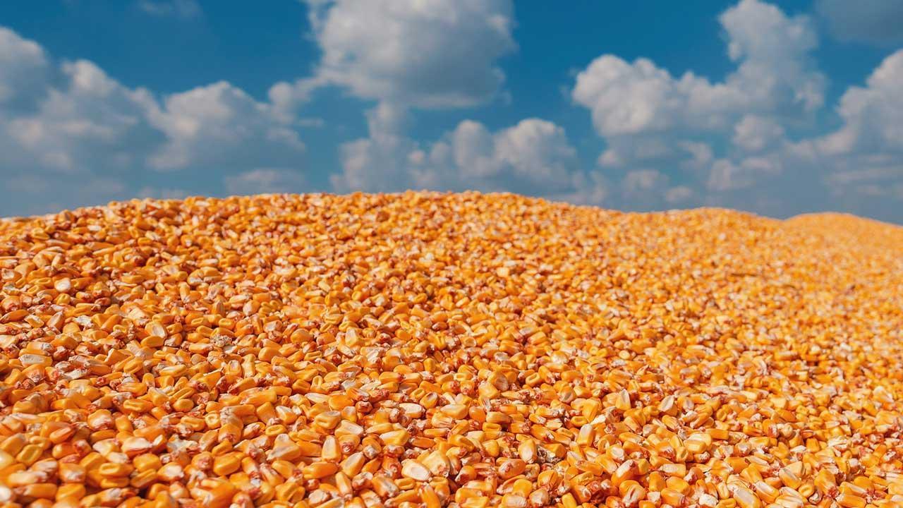 Maisgranulat - Die Alternative zum Steusalz - Mais