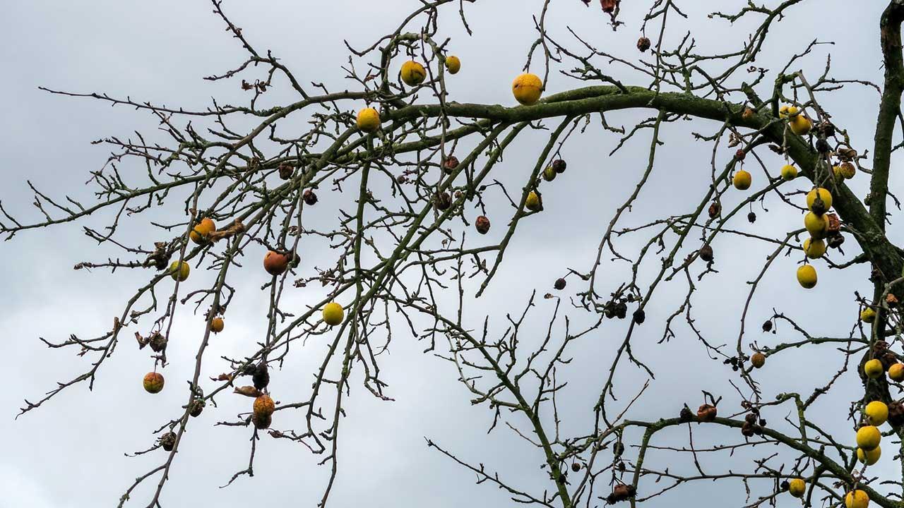 Fruchtmumien im Garten entfernen - Ast mit vielen toten Früchten