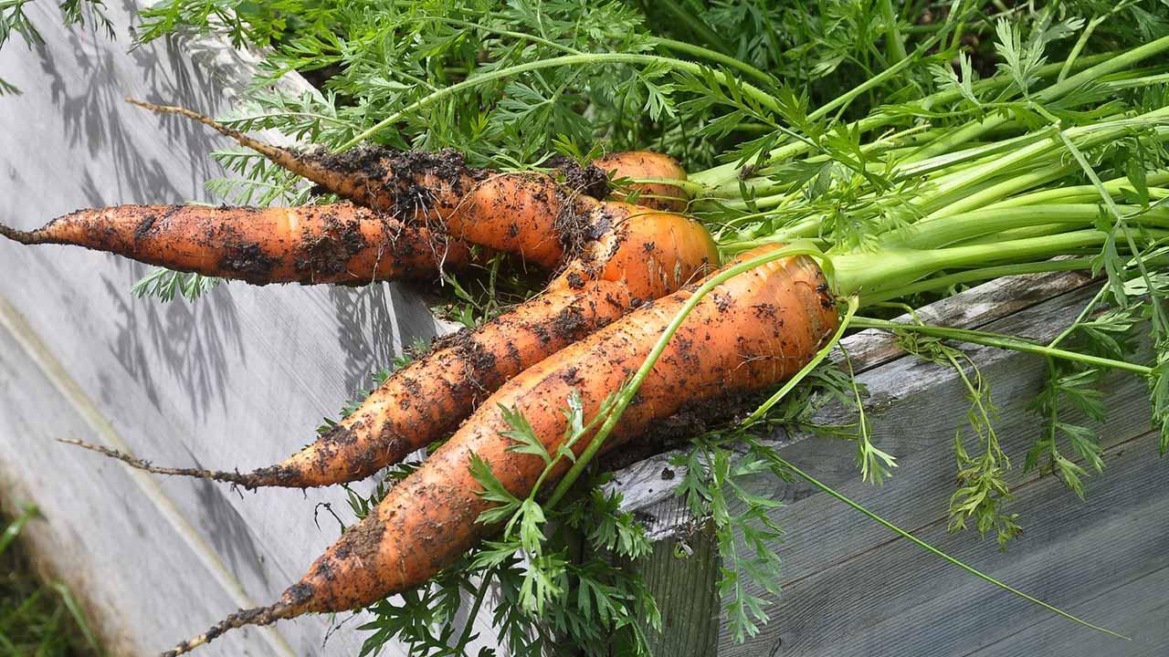 Aussaat im August - frische Karotten