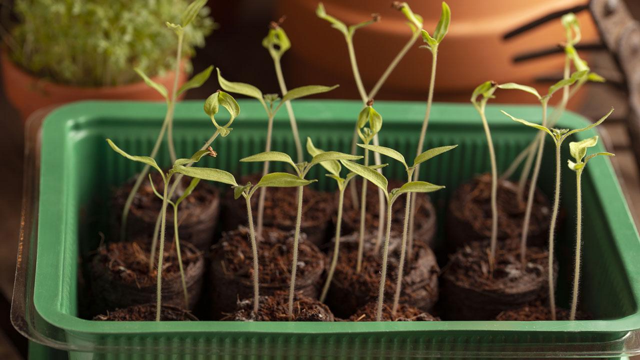 Pflanzen am Fensterbrett vorziehen - Setzlinge