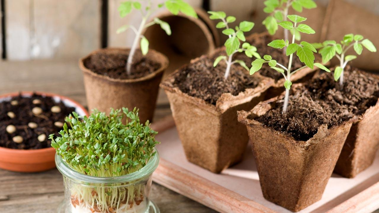 Pflanzen am Fensterbrett vorziehen - Tomatenpflanzen