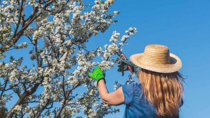 Obstbäume im Frühling richtig beschneiden - Gärtnerin schneidet Triebe ab