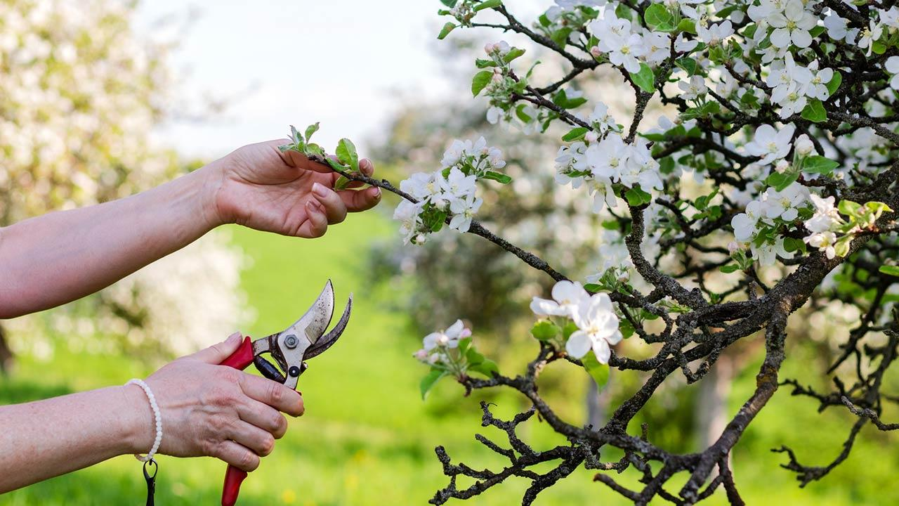 Obstbäume im Frühling richtig beschneiden - Frauenhände schneiden Äste