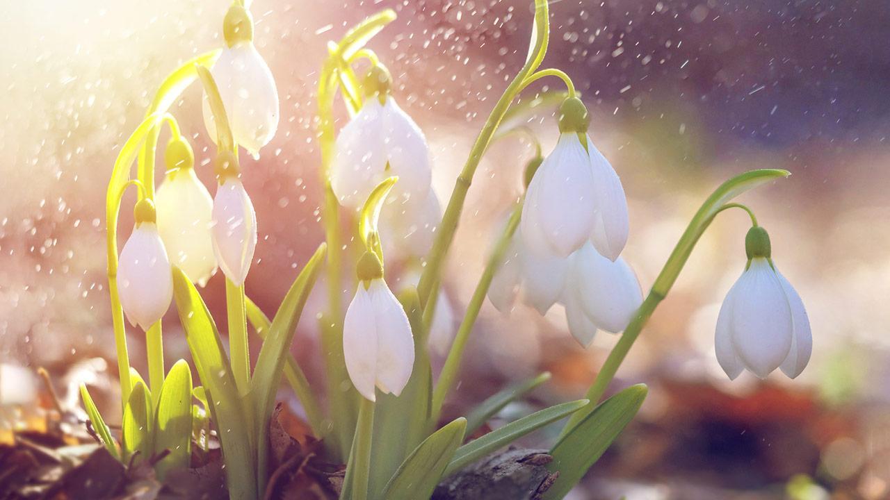 Schneeglöckchen anpflanzen - im Sonnen Gegenlicht