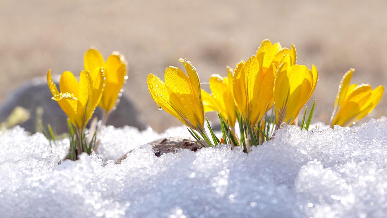 Die schönsten Frühlingsblüher - Krokusse im Schnee