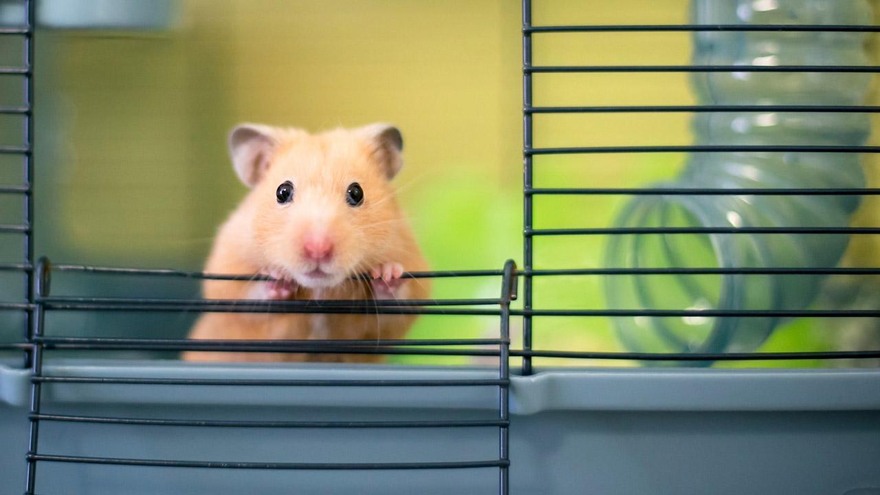 Der Hamster als Haustier für Kinder - im Käfig