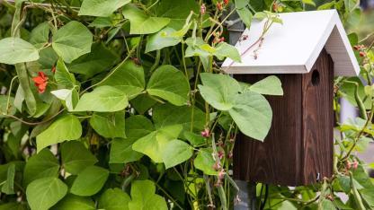 Natürlicher Sichtschutz durch Bohnen - mit Vogelhäuschen