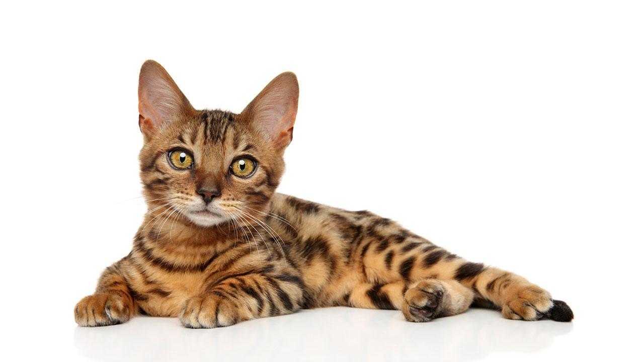 Bengalkatzen - einen Tiger für Zuhause