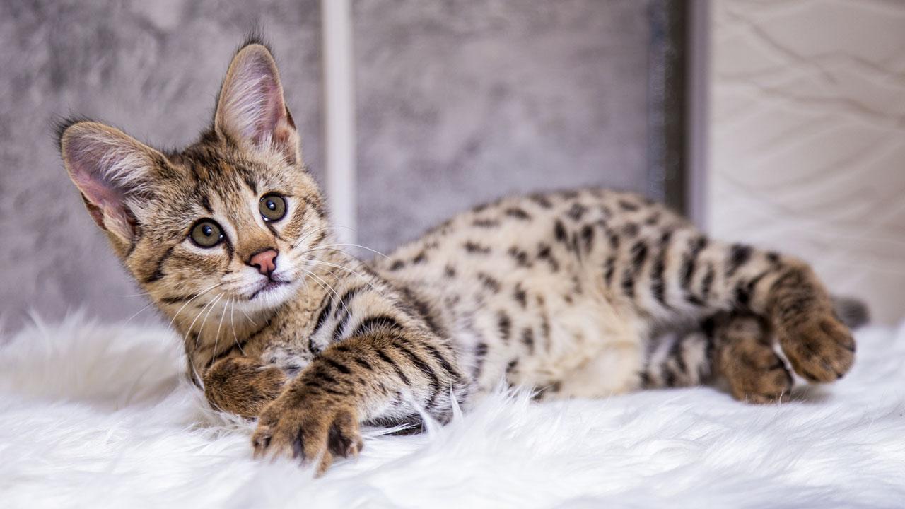 Bengalkatzen - einen Tiger für Zuhause - am Teppich