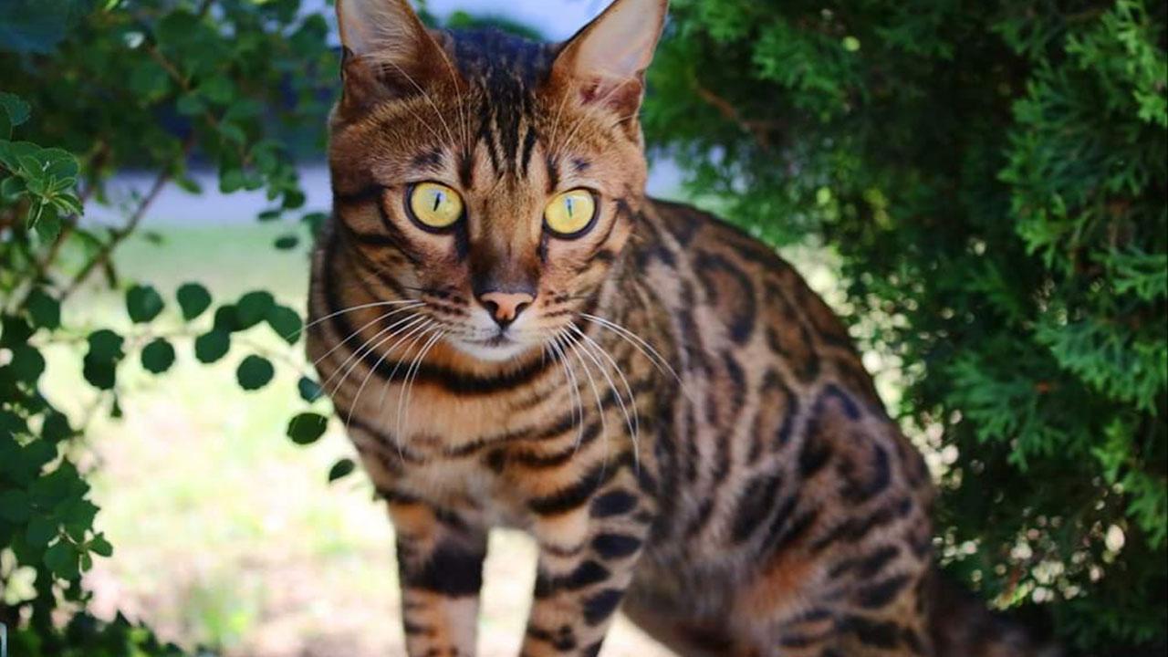 Bengalkatzen - einen Tiger für Zuhause - im Grünen