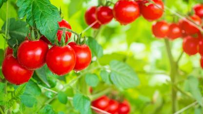 Tomatenhaus selbst bauen