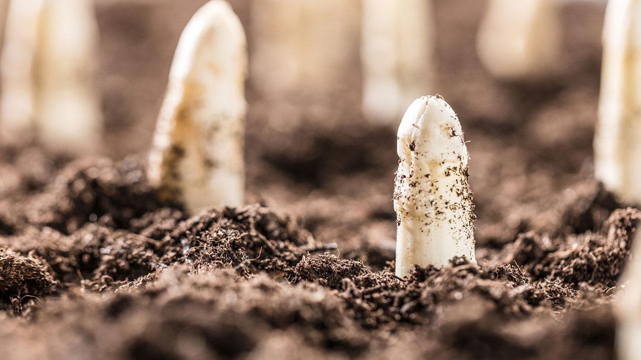 Spargel im eigenen Garten anbauen - Spitzen schauen aus der Erde