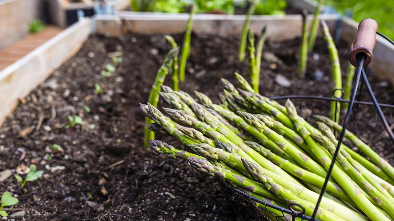 Spargel im eigenen Garten anbauen - grüner Spargel