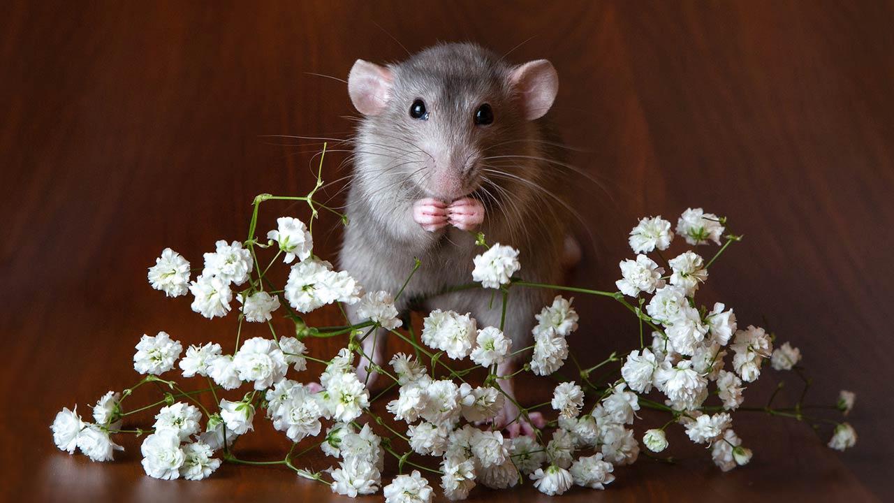 Mäuse - das perfekte Haustier für Kinder ? - in Blumen
