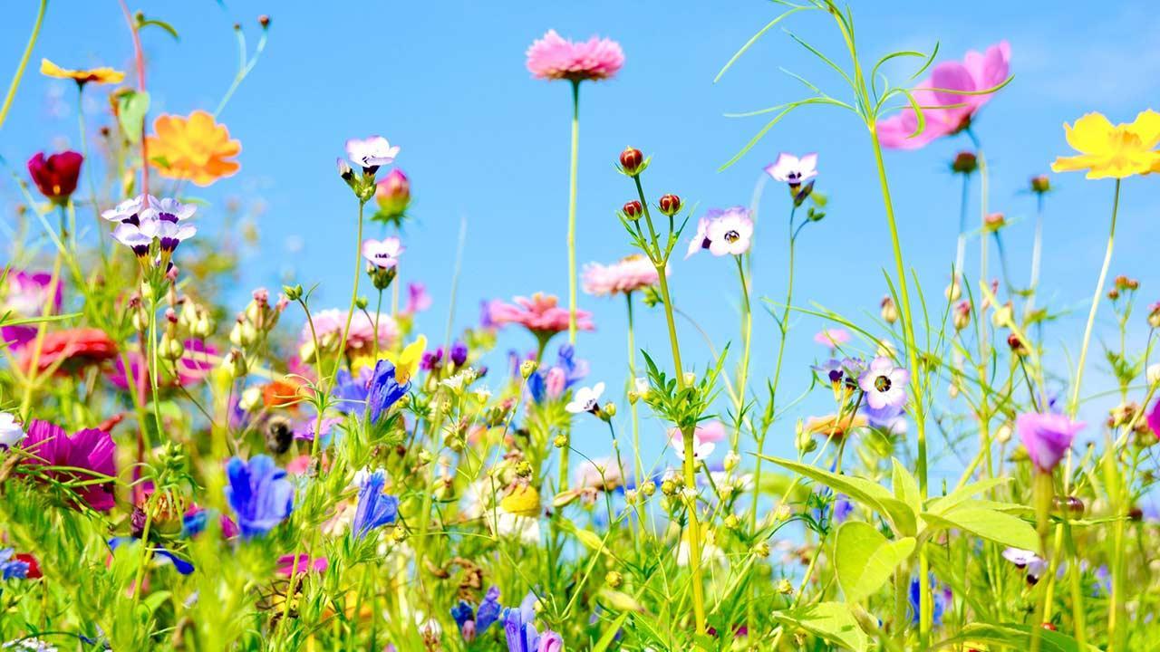 Aussaat im Mai - Blumenwiese