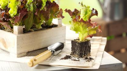 Aussaat im Mai - Salatpflanze