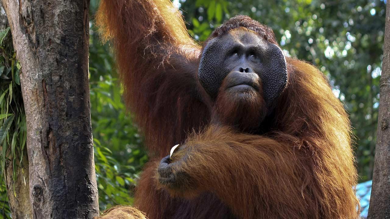 Die schönsten Tierparks in Deutschland - Orang Utan