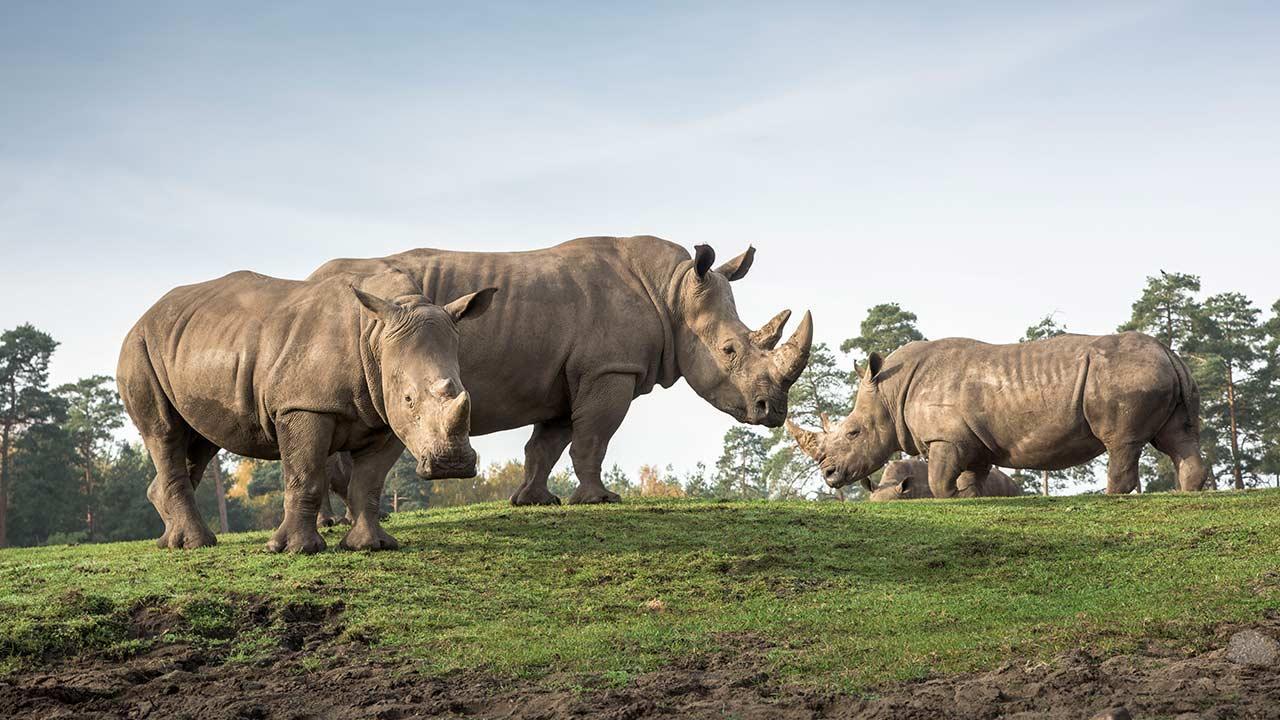 Serengetipark Hodenhagen - Nashörner