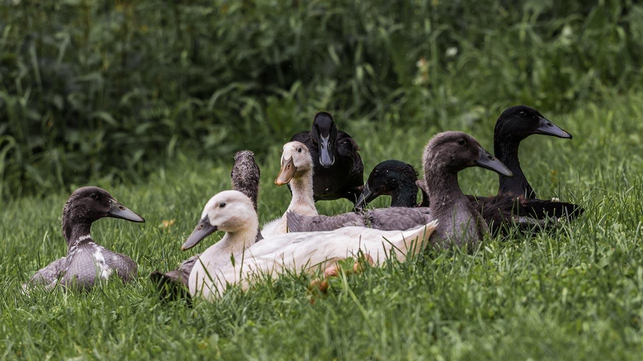 Laufenten gegen Schnecken / Gruppe von Enten