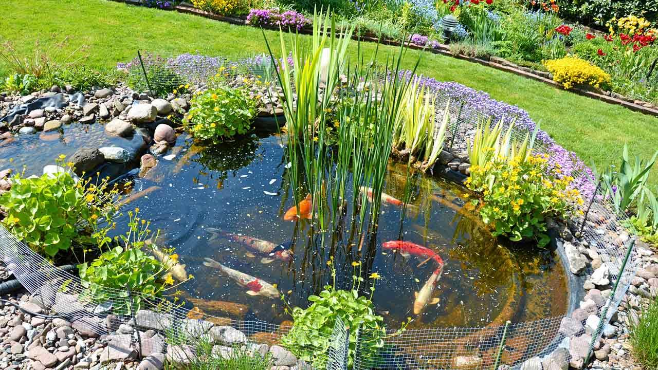 Koi-Karpfen halten / Teich mit Koi-Karpfen