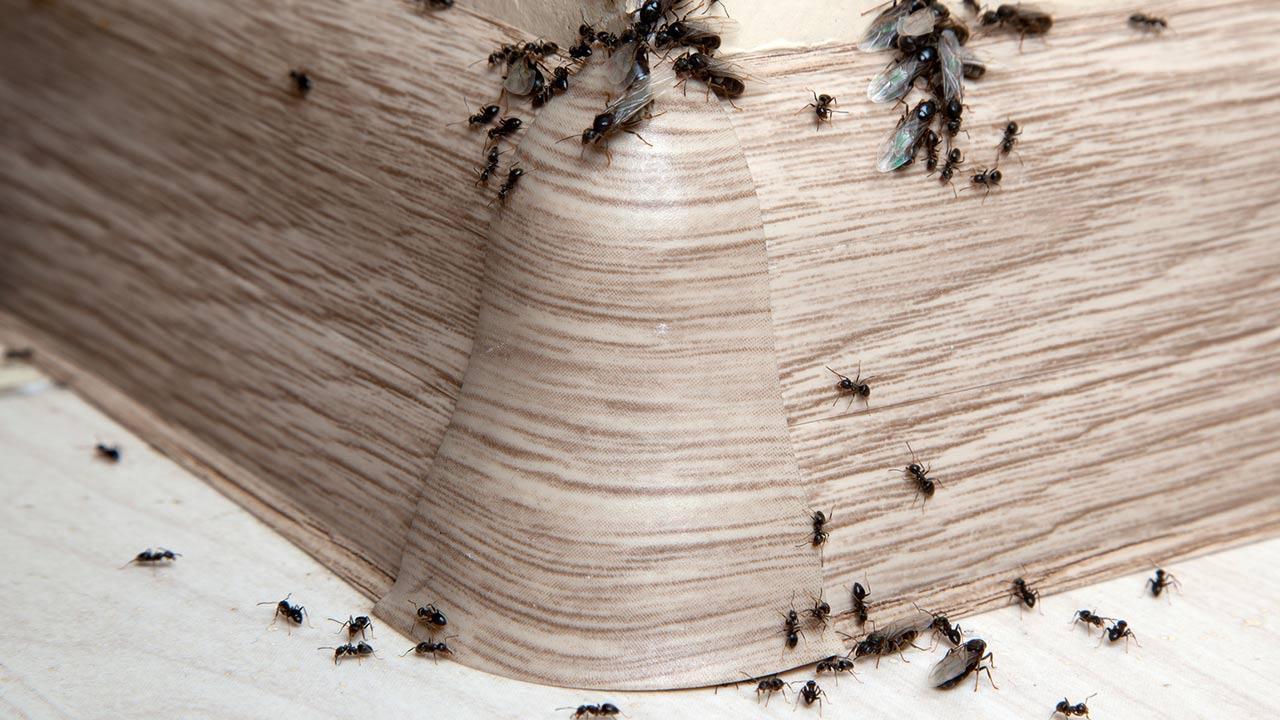 Ameisen im Haus ! Was ist zu tun ? / Ameisen im Haus