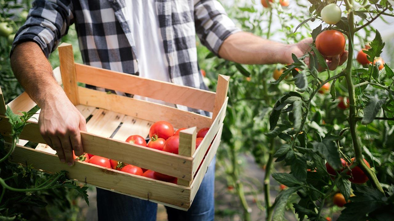 Aussaat im Juni / Mann erntet Tomaten