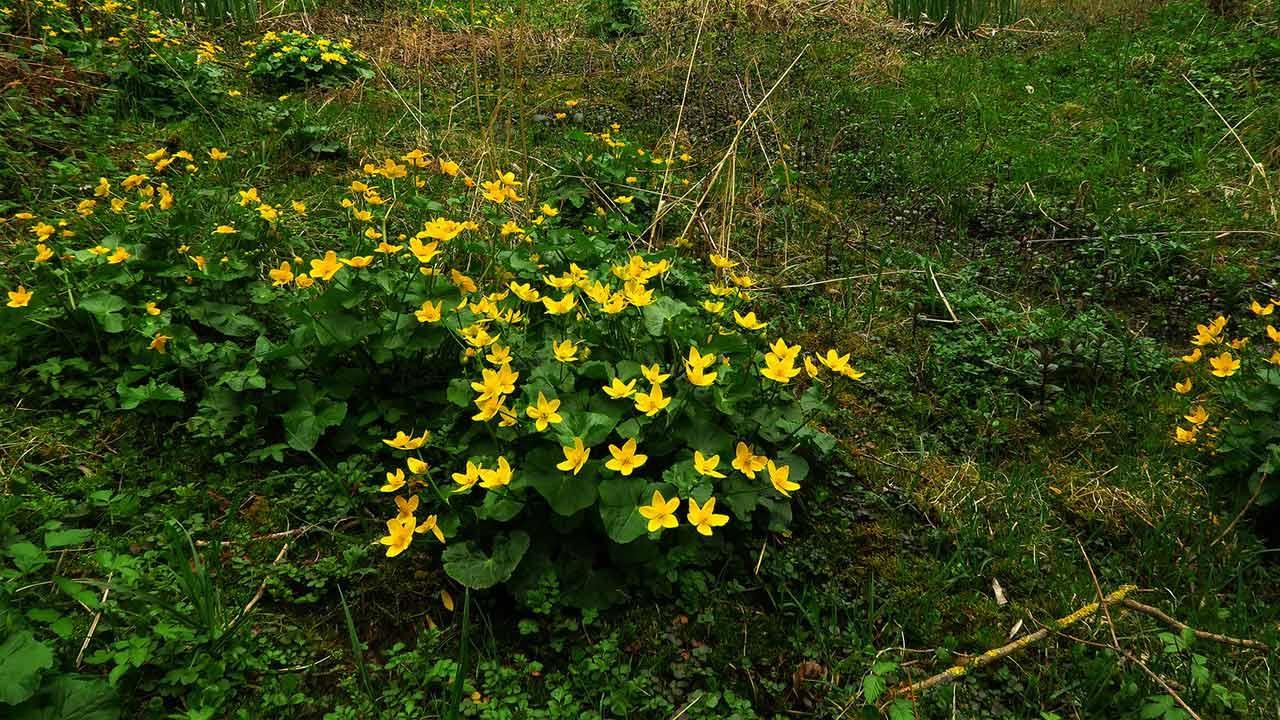 Die schönsten Wasserpflanzen für Ihren Gartenteich / Sumpf-Dotterblume