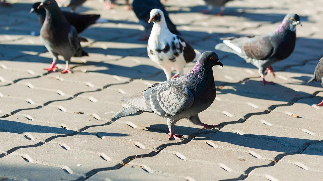 Schädlingsbekämpfung - Tauben / mehrere Tauben