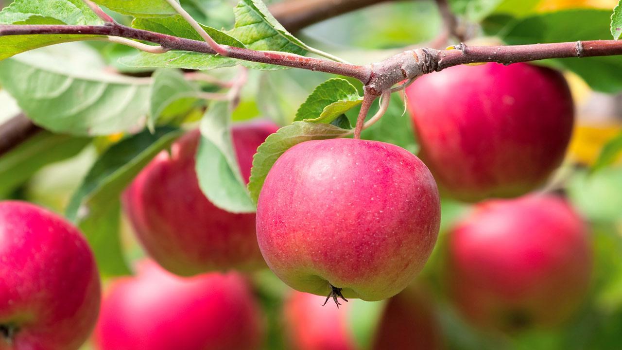 Wie pflanze ich einen Apfelbaum? / Nahaufnahme von roten Äpfel