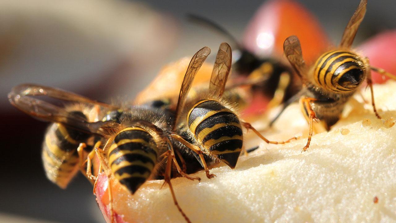 Wespen bekämpfen im Garten / mehrere Wespen auf einem Apfel