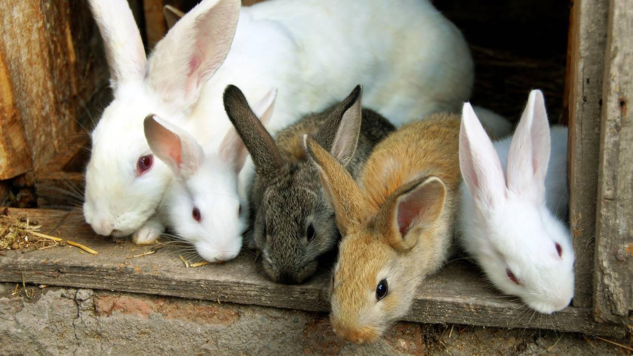 Ein Hase als Haustier / viele Kaninchen in einem Stall