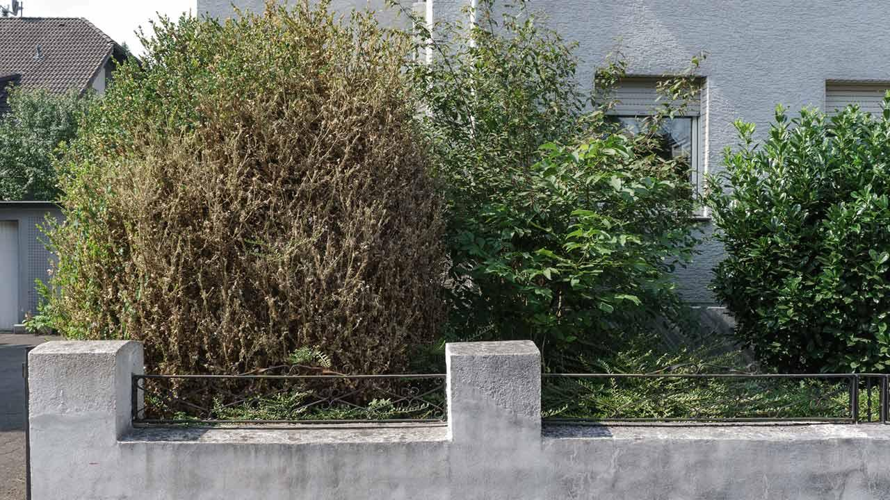 Buchsbaumzünsler - befallene Pflanze