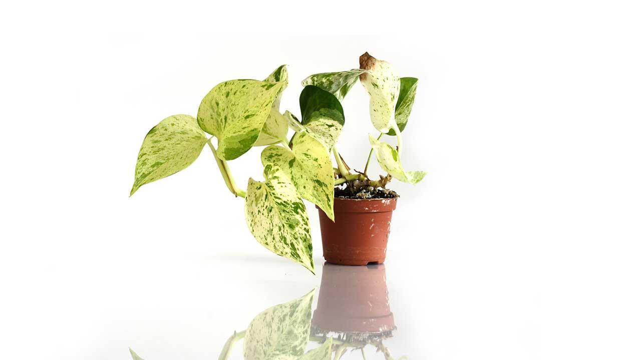 Pflegeleichte Zimmerpflanzen - Efeutute