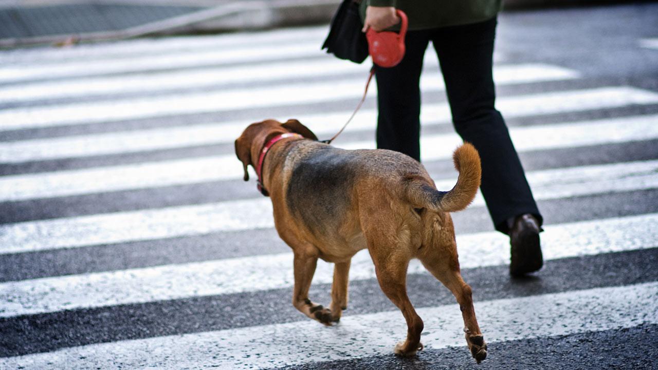 Vorteile der Laufleine für Hunde - ein Hund an der Laufleine überquert die Straße